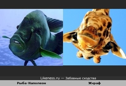 Перевёрнутая голова жирафа похожа на рыбу