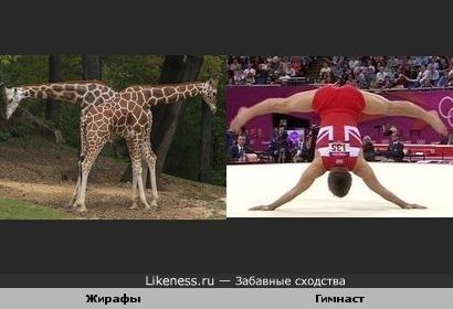 Два жирафа напоминают гимнаста на вольных упражнениях