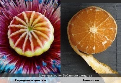 Серединка цветка похожа на апельсин