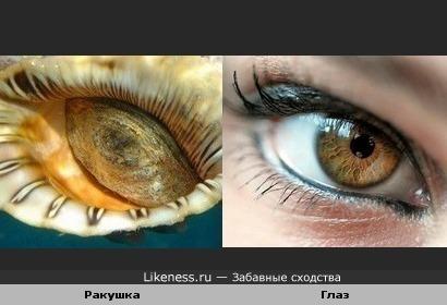 Ракушка похожа на глаз