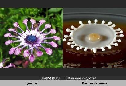 Цветок похож на каплю молока в кофе