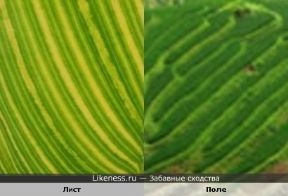 Прожилки на листке растения похожи на засеянное поле