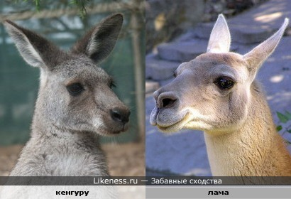 Кенгуру и лама