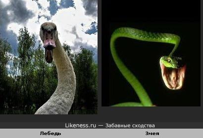 Лебедь похож на Змею