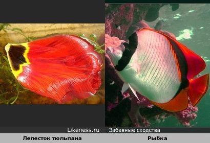 Лепесток тюльпана похож на рыбку
