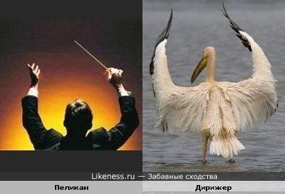 Пеликан похож на Дирижера
