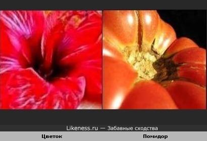 Цветок похож на помидор(или наоборот)