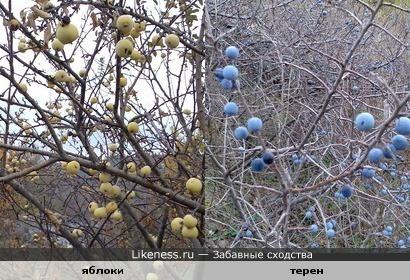 яблоки и терен,потеряли листья