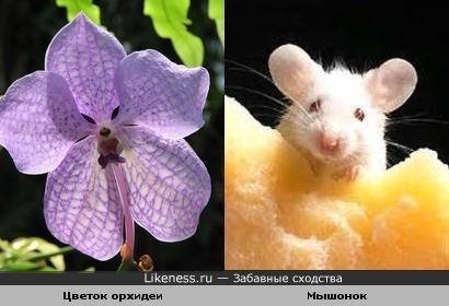 В цветке орхидеи увиделся мышонок