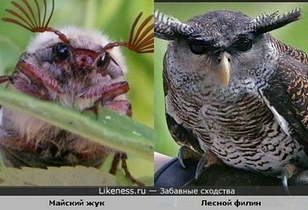 Майский жук похож на филина