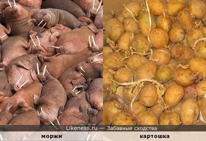 Моржи и картошка