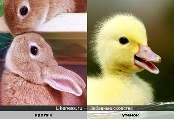 Кролик или утенок?!