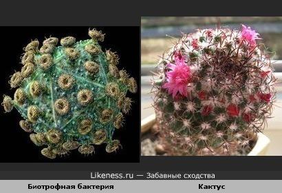 Биотрофная бактерия и кактус