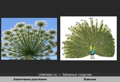 Зонтичное растение и павлин