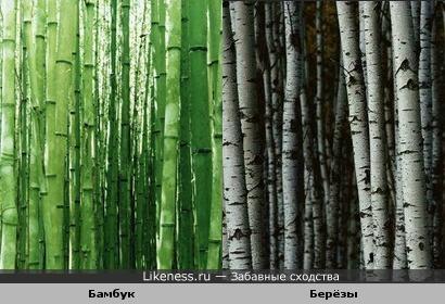 Бамбук и берёзы