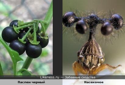 Паслен черный и насекомое