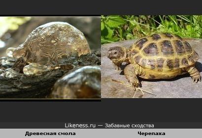 Древесная смола и черепаха