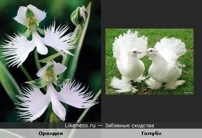 Орхидея и голуби