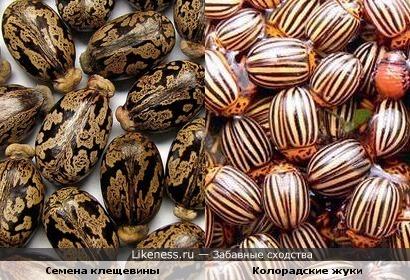 Семена клещевины и колорадские жуки