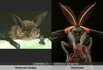 Летучая мышь и мотылек