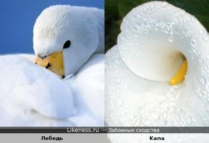Лебедь и Кала