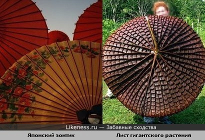 Японский зонтик и Лист гигантского растения