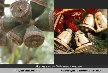Плоды эвкалипта и Новогодние колокольчики