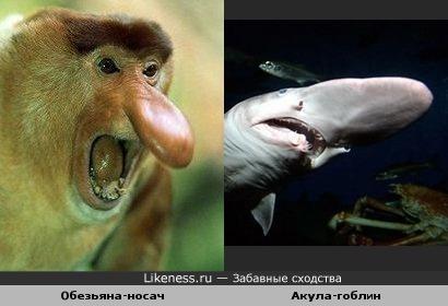 Обезьяна-носач и Акула-гоблин