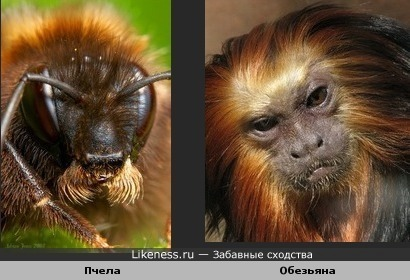 Пчела и Обезьяна