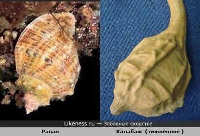 Рапан и Калабаш ( тыквенное )