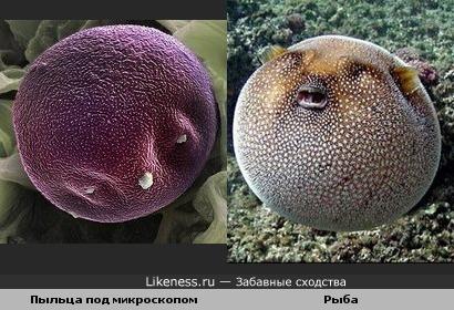 Пыльца под микроскопом и Рыба