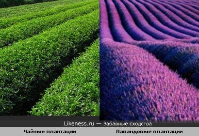 Чайные плантации и Лавандовые плантации
