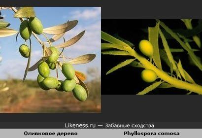 Оливковое дерево и Phyllospora comosa ( водоросли )