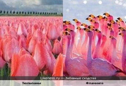 Тюльпаны и Фламинго