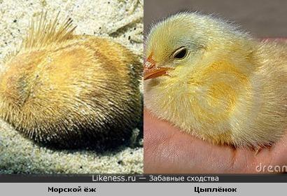 Морской ёж и Цыплёнок