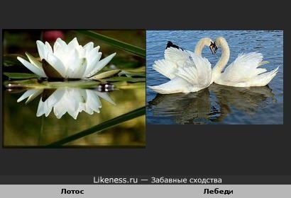 Лотос и Лебеди