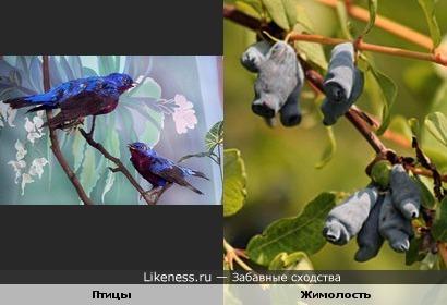 Птицы и Жимолость