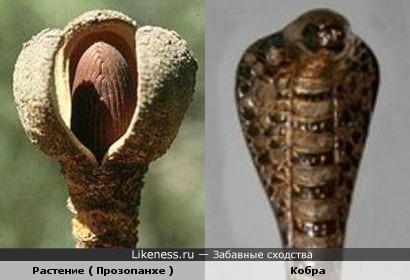 Растение ( Прозопанхе ) и Кобра