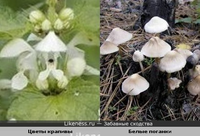 Цветы крапивы и Белые поганки