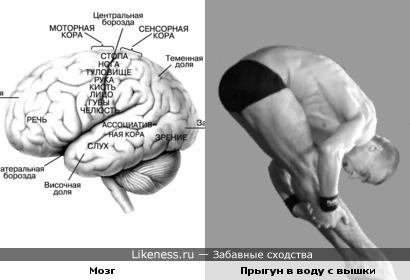 Человеческий головной мозг и спортсмен, выполняющий прыжок в воду с вышки