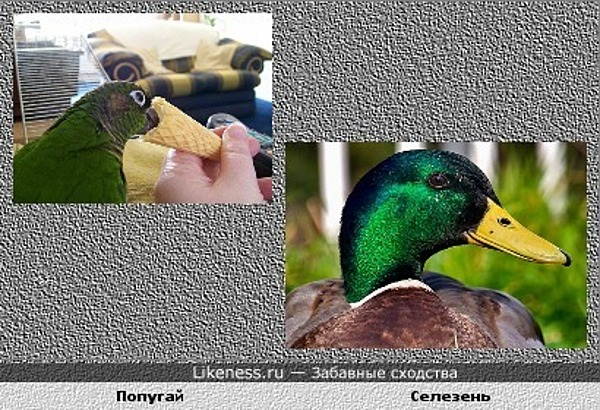 Попугай, поедающий мороженое в рожке, и селезень