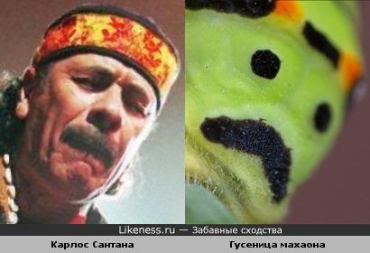 Карлос Сантана и гусеница махаона