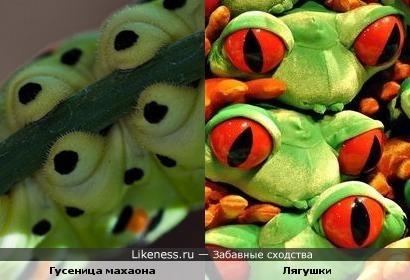 Гусеница махаона и лягушки