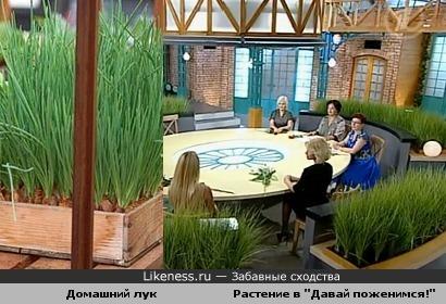 """Декоративное растение в студии программы """"Давай поженимся!"""" похоже на зеленый лук"""