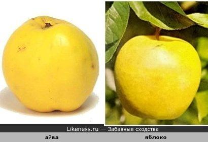 айва похожа на яблоко