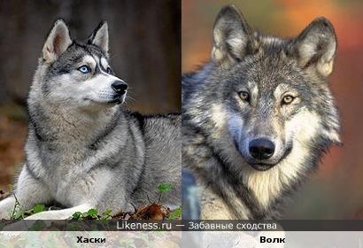 Хаски похожа на волка