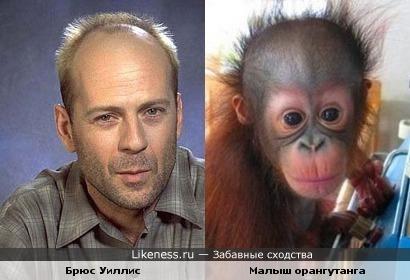 Малыш орангутанга напомнил мне Уиллиса