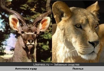 Антилопа куду похожа на льва