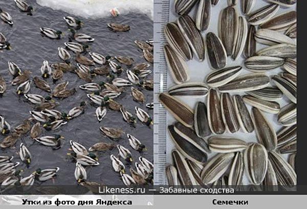Утки похожи на рассыпанные семечки