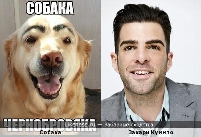 Собака брови намулевака и похожака Закари Куинто